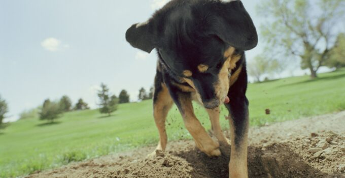 Raisons pour lesquelles les chiens enterrent les os et autres objets
