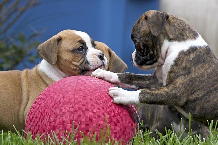 Chiots Boxer jouant avec une grosse balle en caoutchouc.