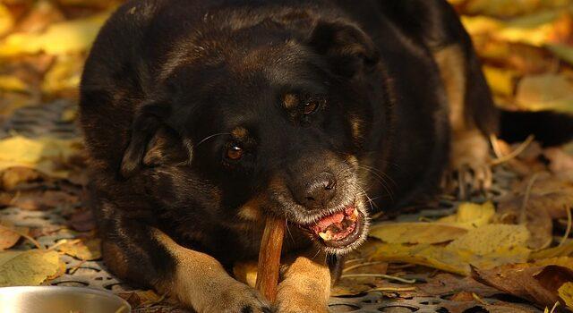 Raisons lesquelles les chiens mordent et comment les arrêter