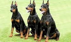 chiens de garde