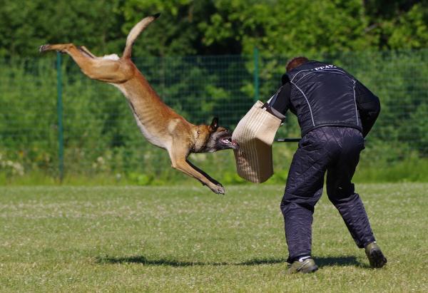 Formation de chien à la défense et à l'attaque