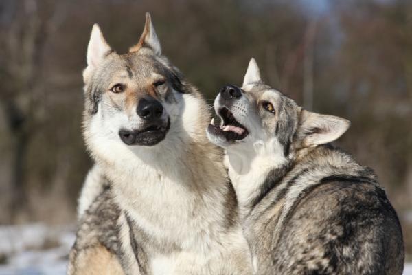 Formation de chien-loup tchécoslovaque - Devenez une figure de référence pour votre chien