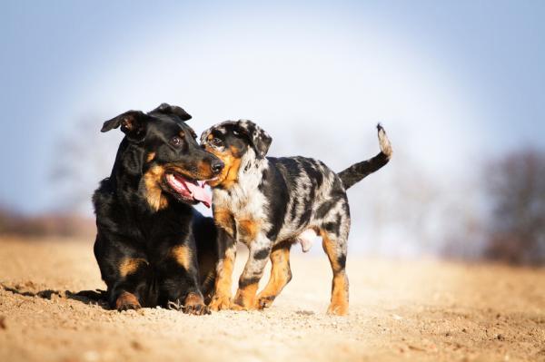 Entraînement cognitif émotionnel du chien - Entraînement cognitif canin