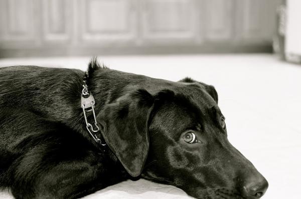 Dressage traditionnel de chien - Comment fonctionne le dressage traditionnel de chien