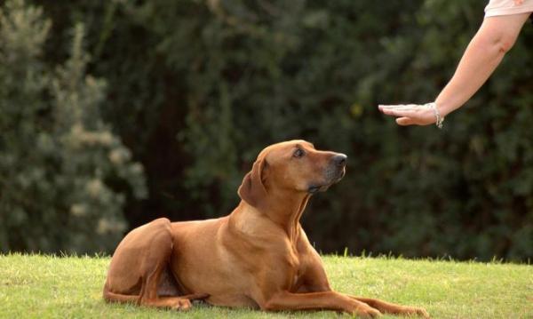 Comment devrait être une séance de dressage de chiens? - Ordres ou signaux