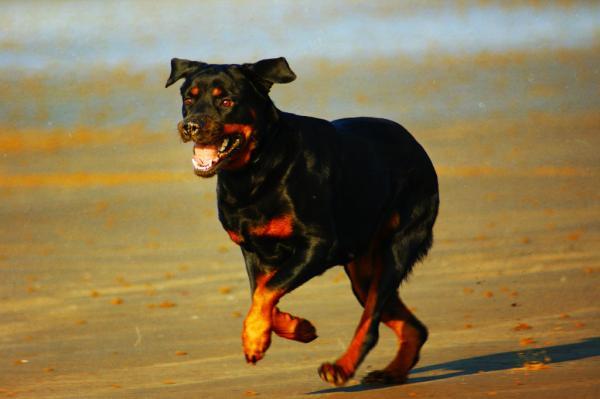 Prendre soin d'un chien Rottweiler - Marcher et faire de l'exercice