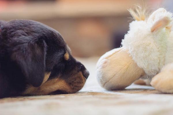 Soins pour chiens Rottweiler - Santé