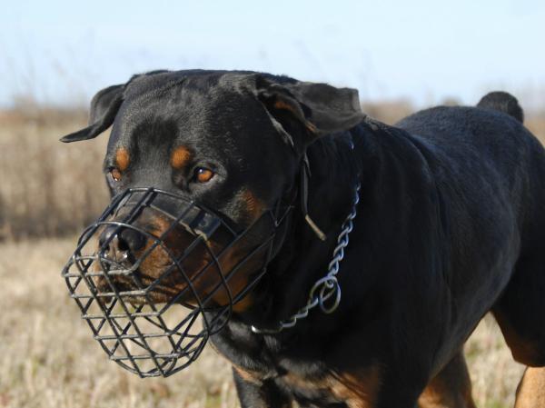 Prendre soin d'un chien Rottweiler - Utilisation de la muselière et de la laisse