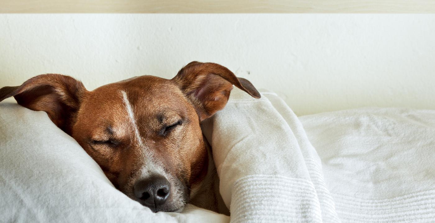Jack Russell Terrier endormi sous des draps blancs avec la tête sur l'oreiller.