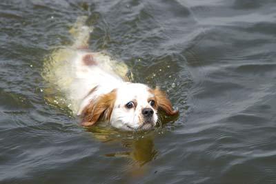 Chien épagneul blanc nageant dans l'eau du lac.