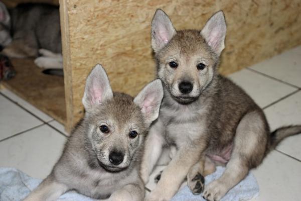Formation de chien-loup tchécoslovaque - Une période de socialisation très attentive