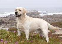 Dressage du Chien Labrador