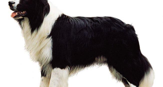 Dressage de chiens Border Collie