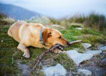 Gestion du comportement de chien