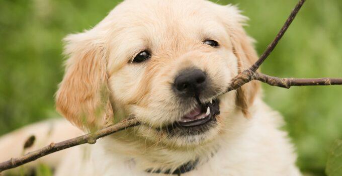 Eliminer le comportement destructeur d'un chien